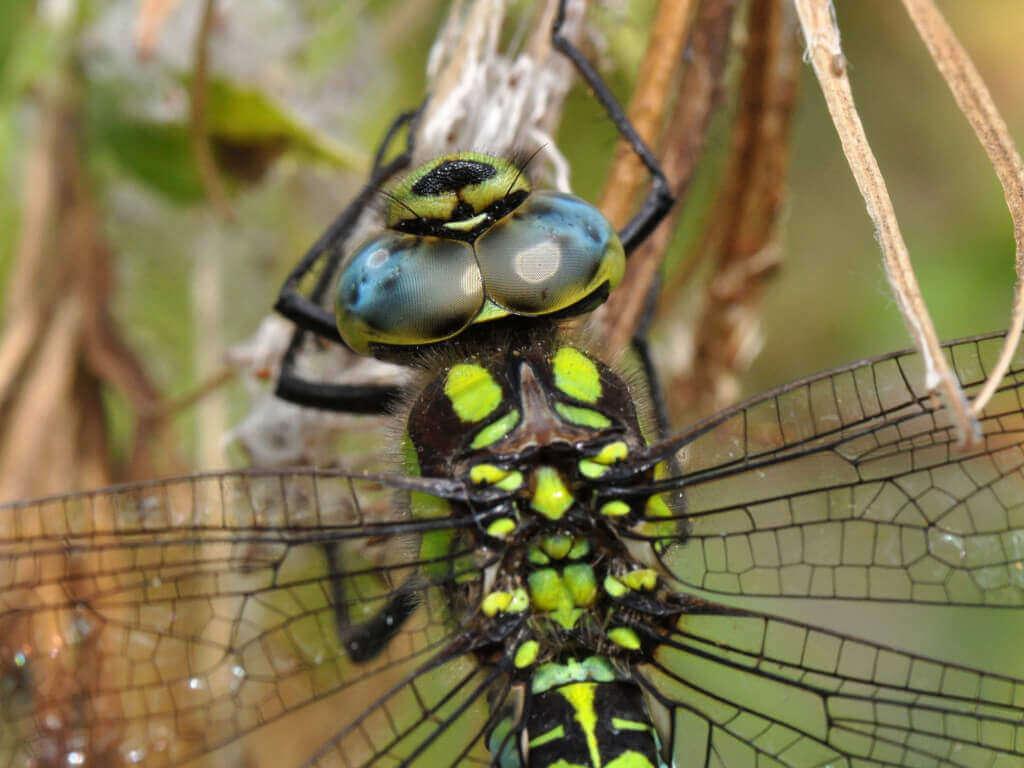 Den Komplexaugen mit den bis zu 30.000 Einzelaugen der Libelle entgeht nichts. Copyright: Dr. Hannes Petrischak / Heinz Sielmann Stiftung
