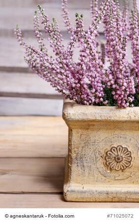 heidekraut in zartem rosa. Black Bedroom Furniture Sets. Home Design Ideas