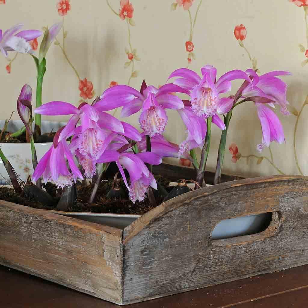 Das Bild zeigt ein altes Holztablett bepflanzt mit pinkfarbenen Blumen
