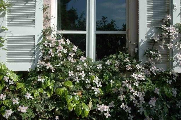 Waldreben (Clematis) bieten mit ihren vielen Blüten Schmetterlingen reichlich Nahrung und verschönern kletternd Zäune, Mauern und Pergolen.