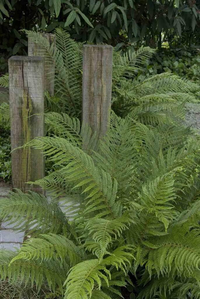 Gefiederte Farnwedel beeindrucken auch an schattigen Standorten durch eine luftige, transparente Leichtigkeit.