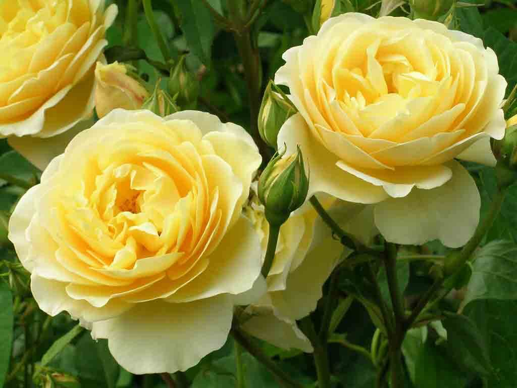 Auch die wohl beliebteste Gartenpflanze, die Rose (Rosa), kann Schmetterlinge anlocken. Wichtig ist jedoch, Sorten auszuwählen, deren Blüten nicht gefüllt sind.