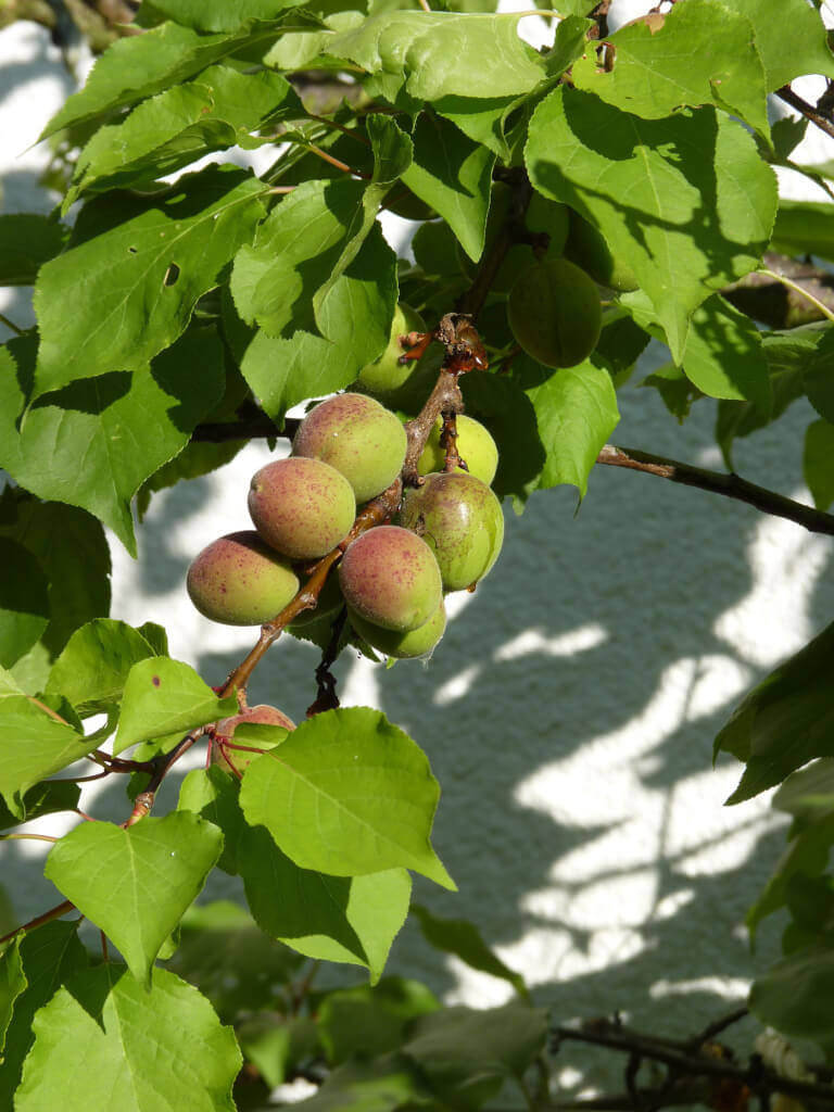 Bietet der Garten eine Mauer, die nach Süden zeigt, können dort sogar wärmeliebende Obstgehölze gepflanzt werden, wie Aprikosen.