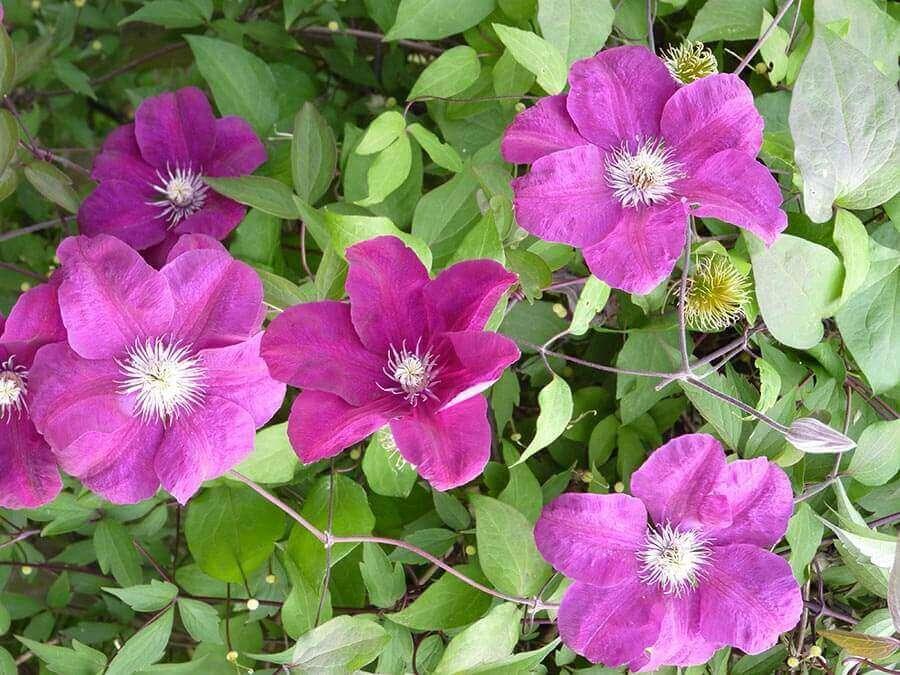 Die Waldrebe (Clematis) beeindruckt mit ihren farbintensiven Blüten und eignet sich wunderbar als Partnerin für die Kletterrose.