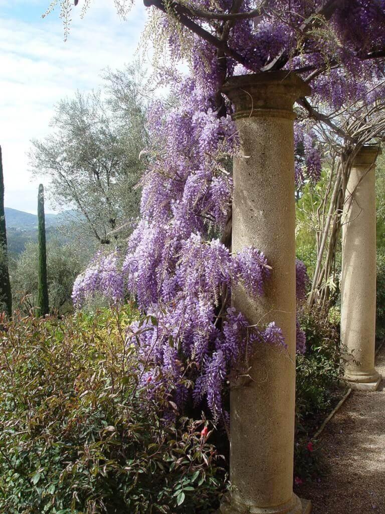 Der Blauregen (Wisteria) zeigt zwischen April und Juni imposante Blütentrauben. Da er mit der Zeit ein beeindruckendes Gewicht erreicht, benötigt er eine stabile Rankhilfe, die fest im Boden verankert ist.