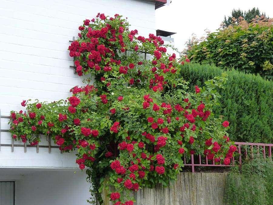 Für romantisches Flair im Garten sind Kletterrosen wie geschaffen. Anders als Selbstklimmer entwickeln Kletterrosen jedoch keine Haftorgane. Daher benötigen sie eine Rankhilfe, an die sie festgebunden werden.