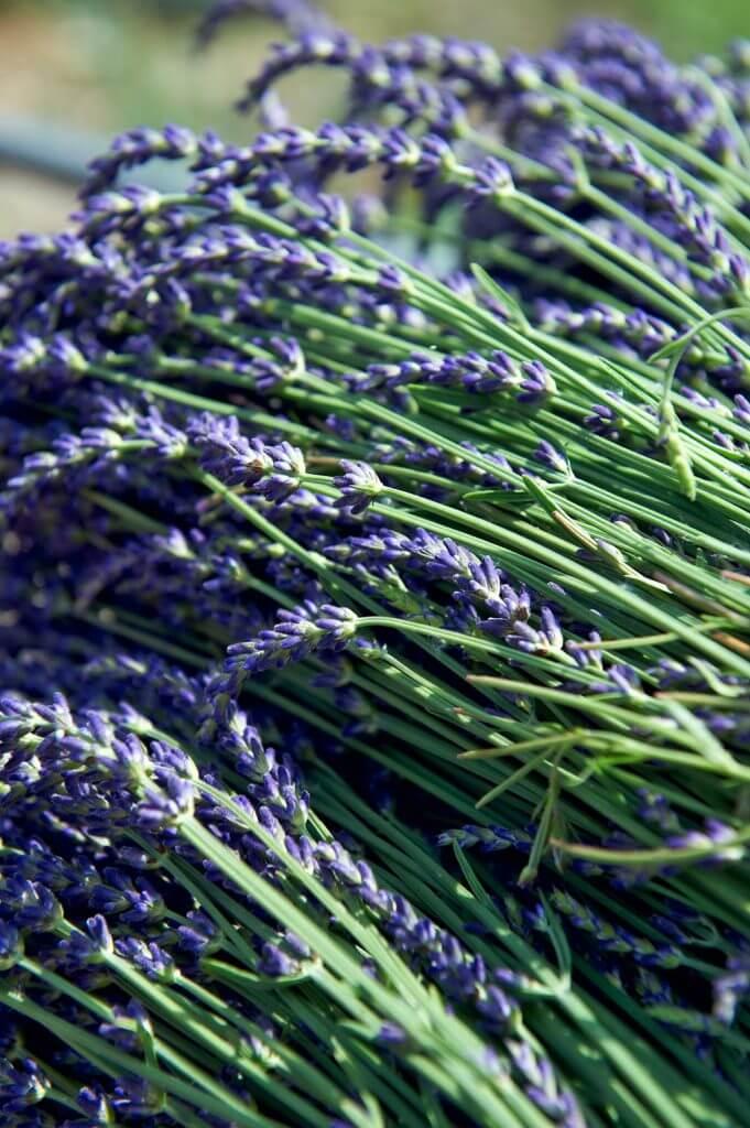 lavendel-sommer-schneiden