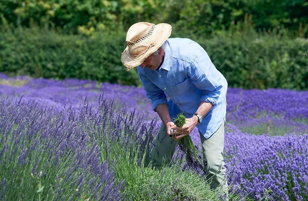 lavendel sollte im sommer nach der ersten bluete geschnitten werden