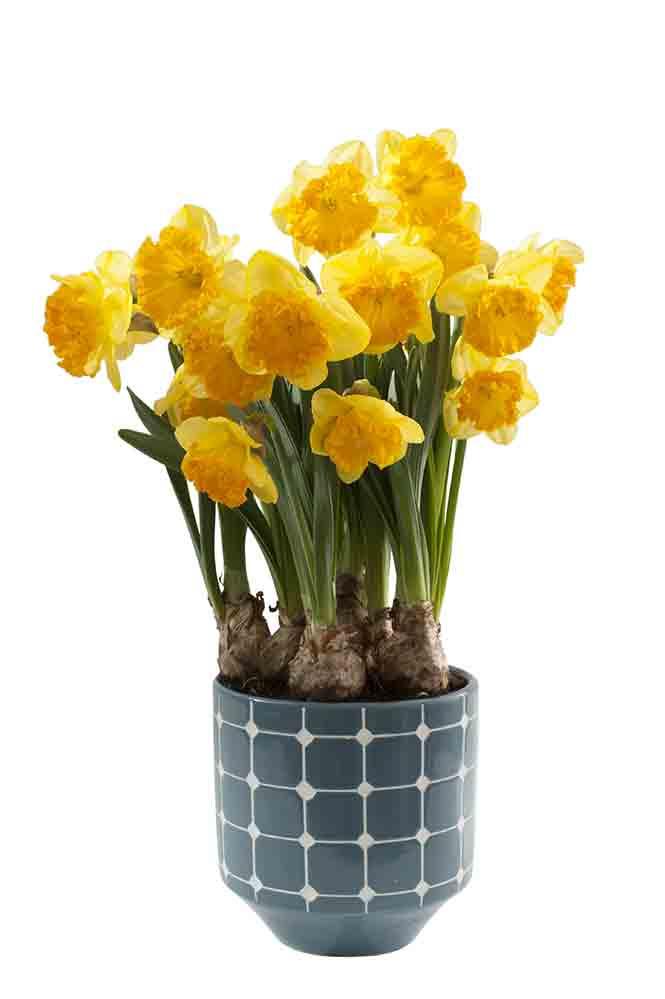 Frisch kombiniert: Blauer Topf und gelbe Blüten
