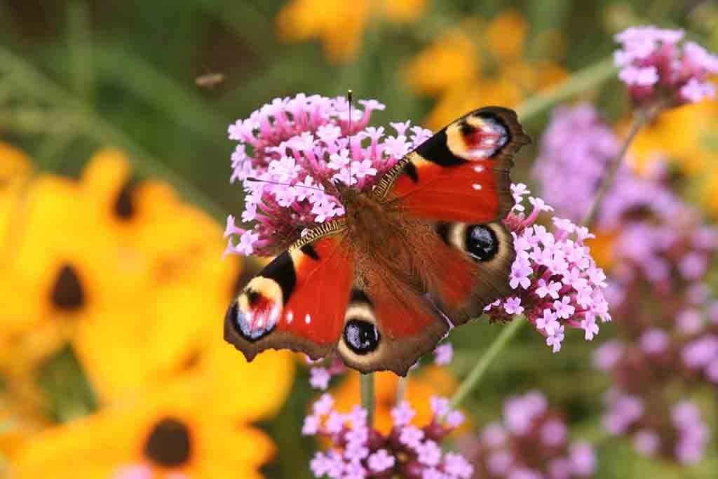 Vom Schmetterlingsflieder (Buddleja davidii) mit seinenweißen und violetten Blütentrauben geht ein Duft aus, der für die Falter unwiderstehlich und auch für Menschen ein Genuss ist.